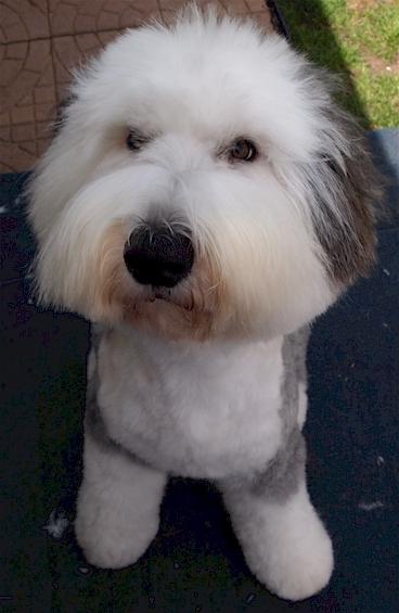 Old English Sheepdog Grooming Haircut Sport Clip