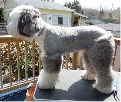 Old English Sheepdog Grooming, Haircut Sport Clip