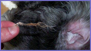 dog ear powder for plucking